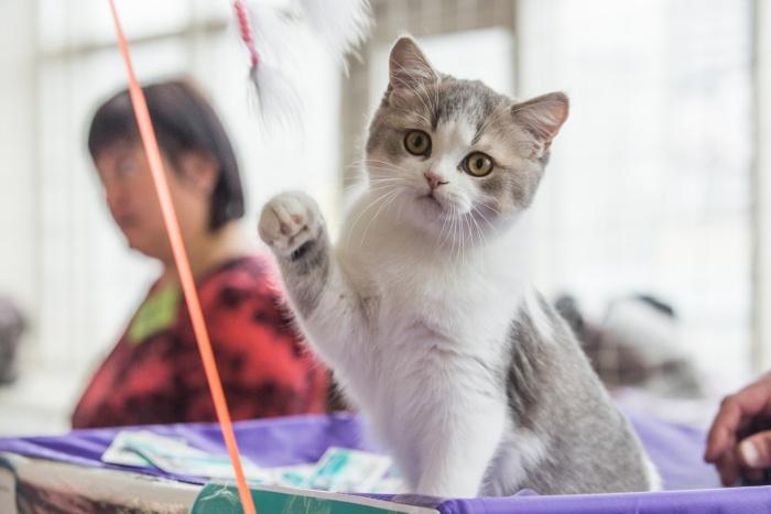 Сейчас в Новосибирске проходит выставка кошек «Сибириада 2017»