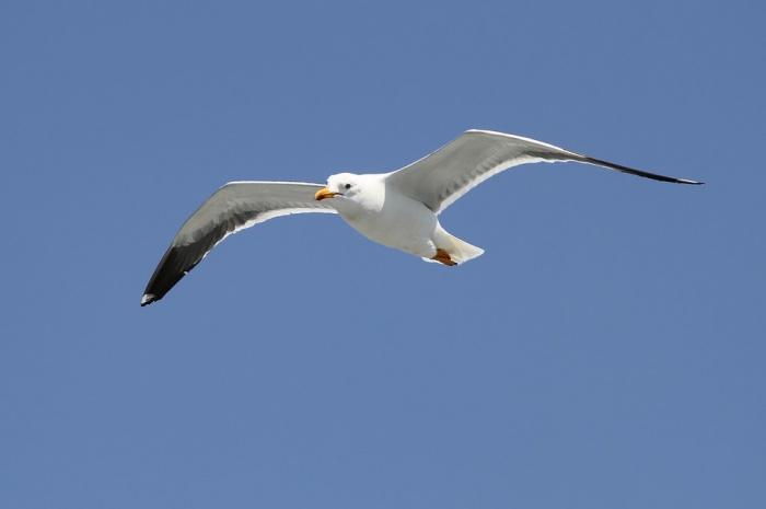 Вслед за грачами и коршунами в Новосибирск вернулись серебристые чайки