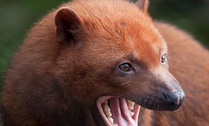 Редкий вымирающий зверь с перепонками стал отцом в Новосибирском зоопарке
