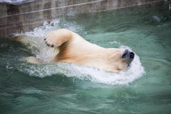 Медведь Кай —глава семейства белых медведей Новосибирского зоопарка