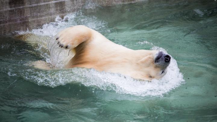 Белых медведей в зоопарке решили огородить каленым стеклом для самолетов