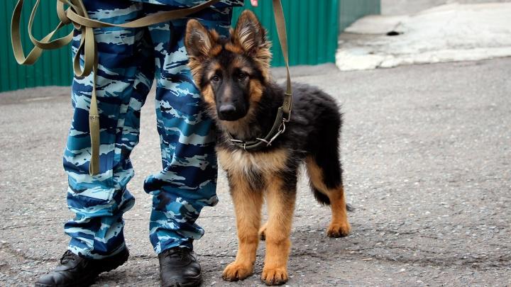 Четырехмесячный сыщик и компания: как щенков готовят к работе в полиции