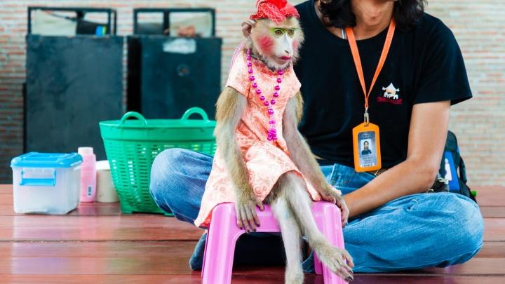 В Омске ищут обезьяну, сбежавшую с репетиции в ночном клубе «Занзибар»