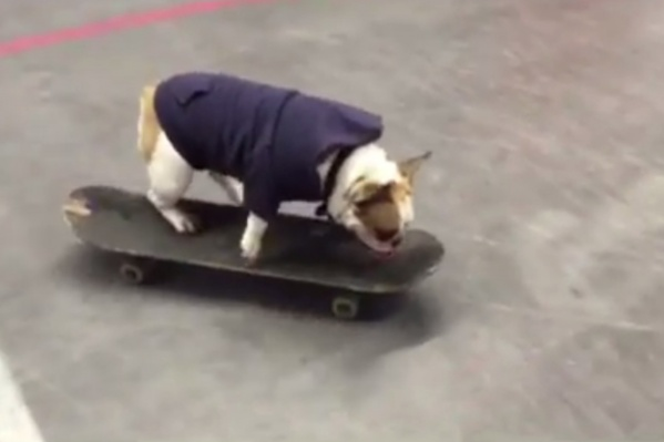 Бульдог Соня — скейтер с четырёхлетним опытом