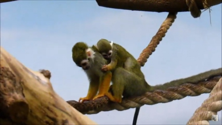 Маленькие обезьянки в зоопарке показали своих детёнышей