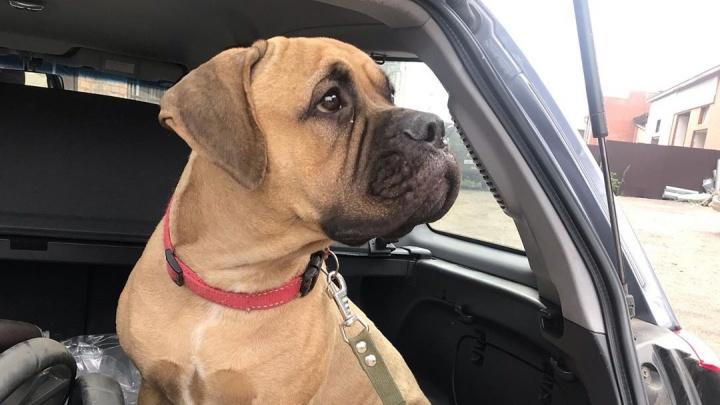 «Доча моя приехала!»: первые кадры встречи с хозяйкой прошедшей по тайге 2 суток собаки