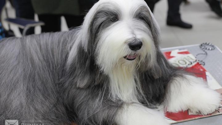 Редкие породы и судьи мирового класса: в Перми пройдёт международная выставка собак