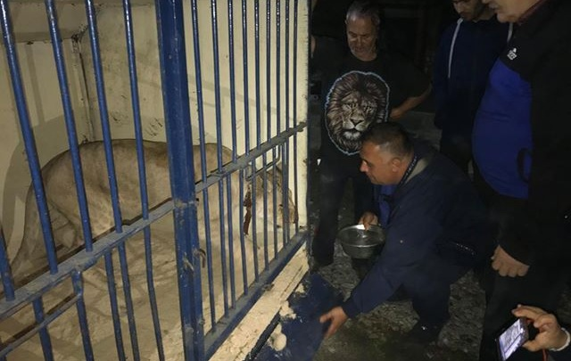 «Бумажная волокита»: львицу и питонов, живших в машине в Челябинске, пристроили в приют