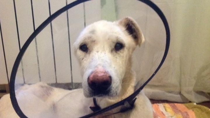 «Ухо и лапу пришлось отрезать»: в Волгограде волонтеры спасают расстрелянного в упор пса