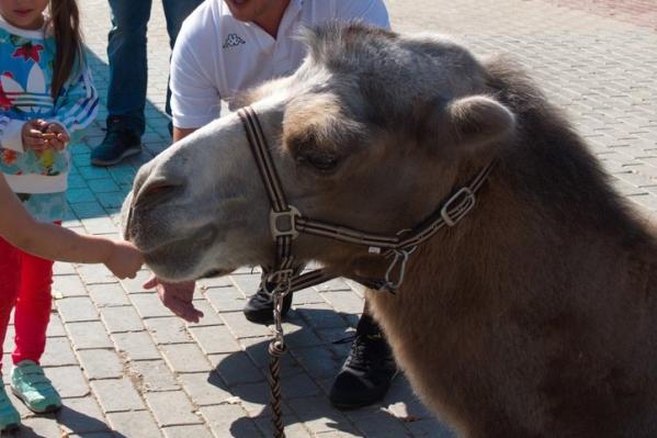 Верблюд Лексус скоро будет жить в более комфортных условиях