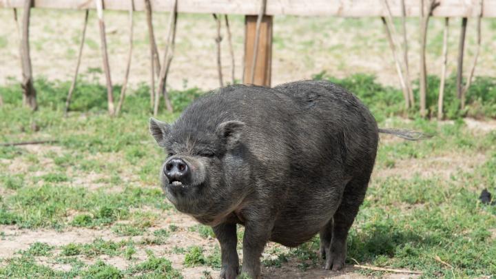 Хозяевам уничтоженных из-за чумы свиней выделили 4,4 миллиона рублей