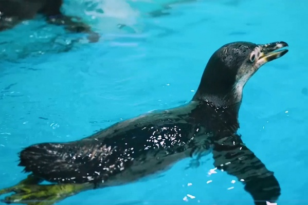 На новом месте пингвины много едят и плавают
