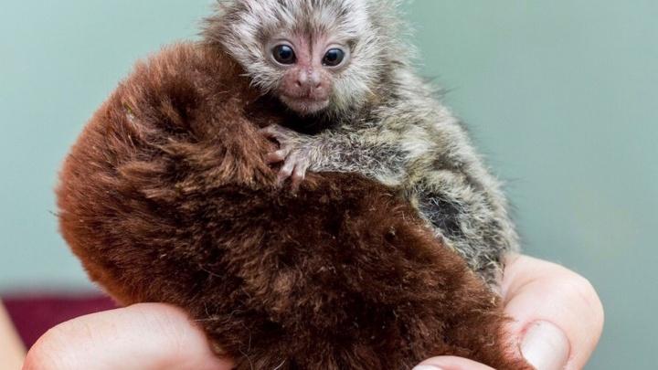 Детеныши Шамана: в Ростовском зоопарке родились три обезьянки-игрунки