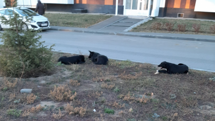 «Десять минут не могла подойти к машине»: в новом микрорайоне Волгограда объявились агрессивные псы
