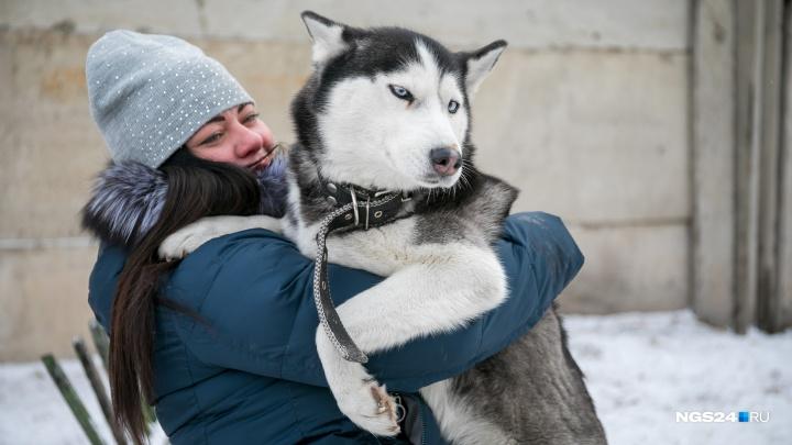 «Собаки, рожденные бежать»: как живет красноярский приют для голубоглазых хаски