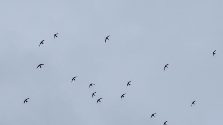 Из Новосибирска начали улетать первые птицы