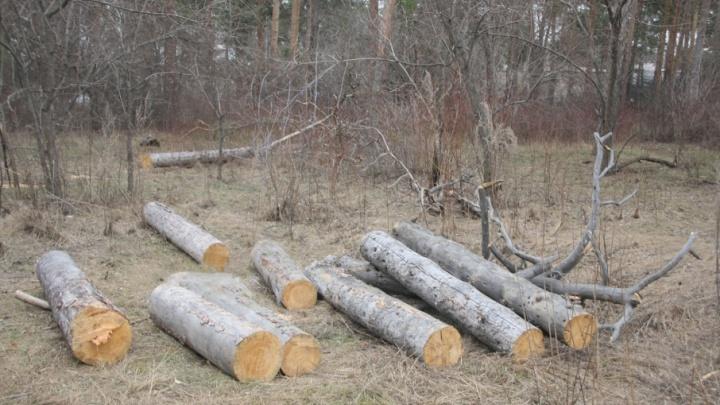 Дровосеки два дня незаконно вырубали деревья возле курганских Тополей
