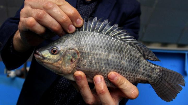 Ферма подводных кроликов: сибиряк выращивает жутко плодовитую африканскую рыбу