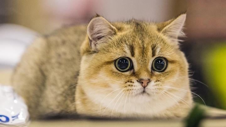 Морды мохнатые: в Новосибирске впервые за пять лет прошла всемирная выставка кошек