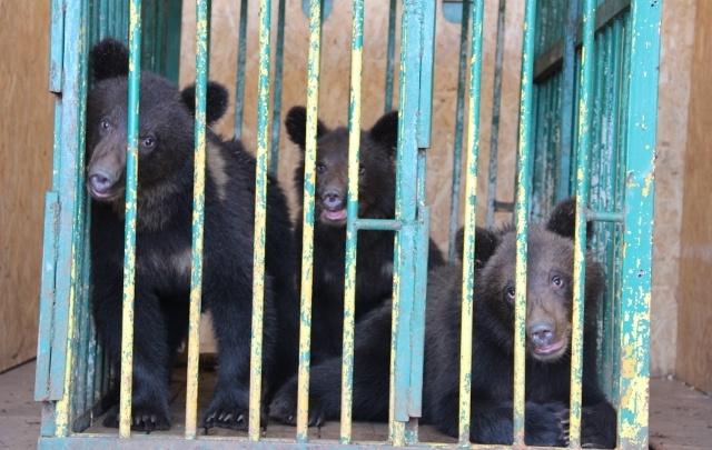Видео дня. Медвежат из зоопарка «Мишутка» отпустили радоваться жизни в Керженский заповедник
