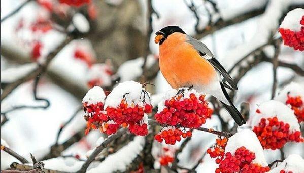 Нашествие снегирей: милые птички с алыми грудками во время морозов прилетели в город