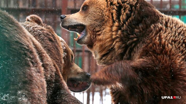 Унылая весна: медведи в Уфе проснулись, расстроились и подрались