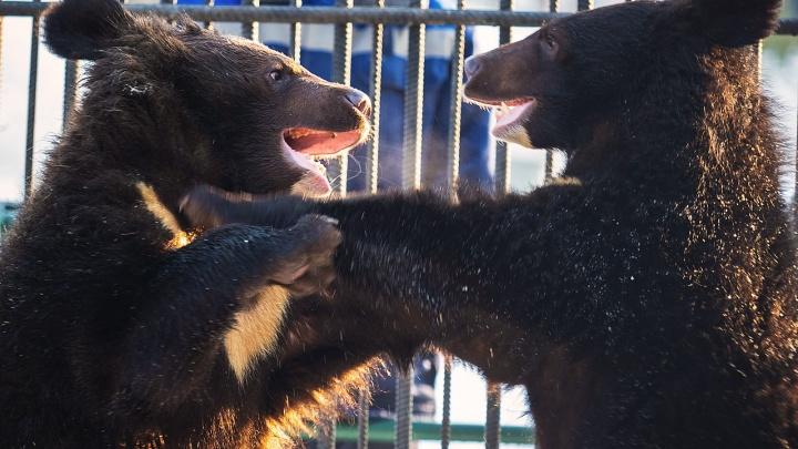 Похожие на вольную борьбу игры гималайских медвежат засняли в зоопарке