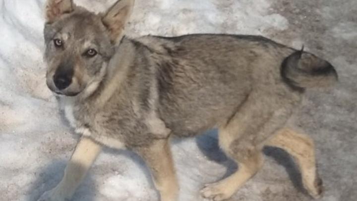 «Она на неё специально наехала». Жительница Прикамья пожаловалась на соседку, сбившую щенка