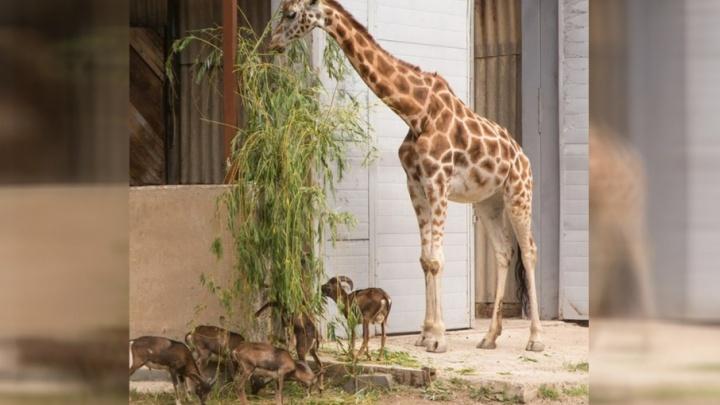 В ростовском зоопарке родились шесть муфлонов
