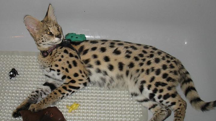 В Красноярске за почти 400 тысяч продают котенка самой большой кошки в мире