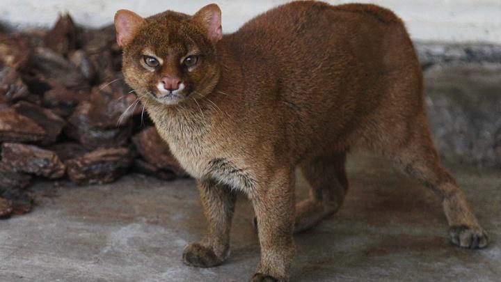 Огромная кошка из Новосибирска сражается за звание «Зоомисс 2018»