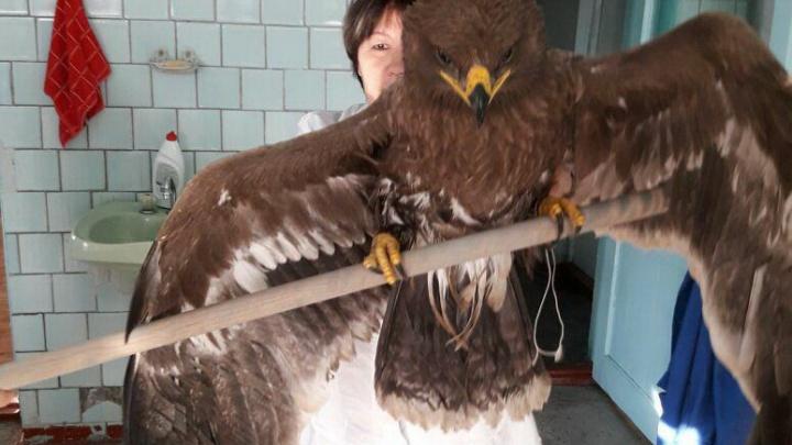 На стройплощадке моста в Кузбассе нашли обессилевшего редкого орла (фото)