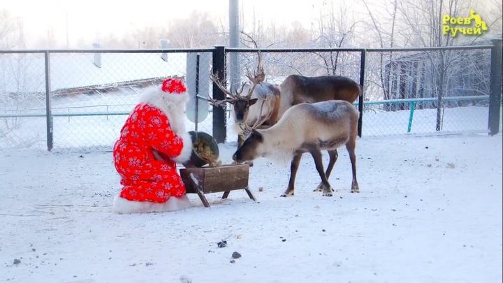 В честь Нового года оленей из зоопарка угостили ягелем из Лапландии