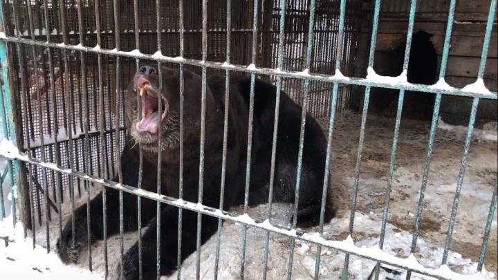 «За 10 лет никого не тронул»: посетители «Айдашки» рассказали о медведе, оторвавшем руку женщине