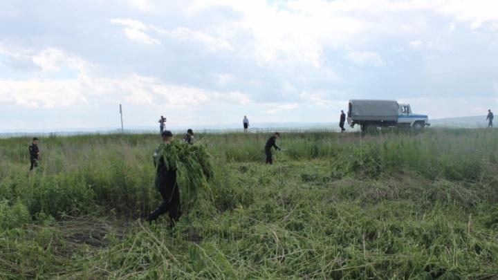 Под Емельяново полиция скосила гектар принадлежащей жителям конопли