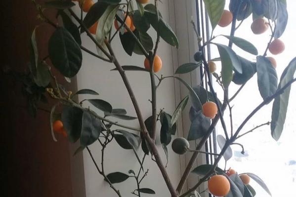Плоды созревают каждые 6–8 месяцев