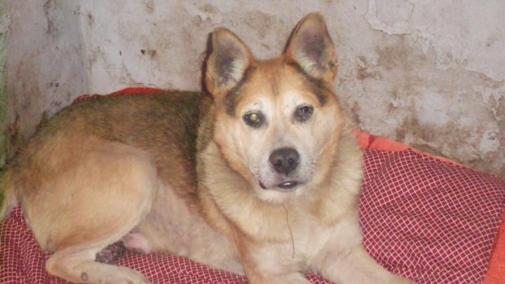 «Ему 16, и умирать он не собирается»: как слепого пса из Архангельска спасли и приютили в Заполярье