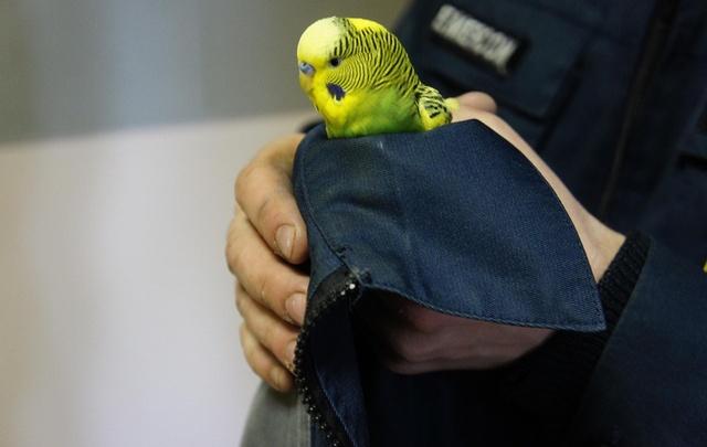 В Уфе от верной гибели спасли волнистого попугайчика