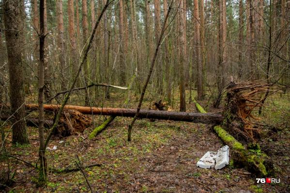 В Тверицком бору ураган вырвал сосны с корнем