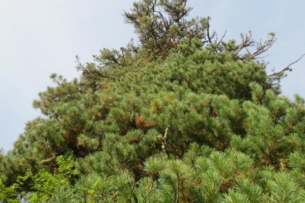 Исследование проводят на кедровых деревьях