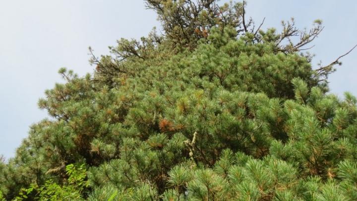 Деревья в заповеднике проверили на содержание тяжелых металлов