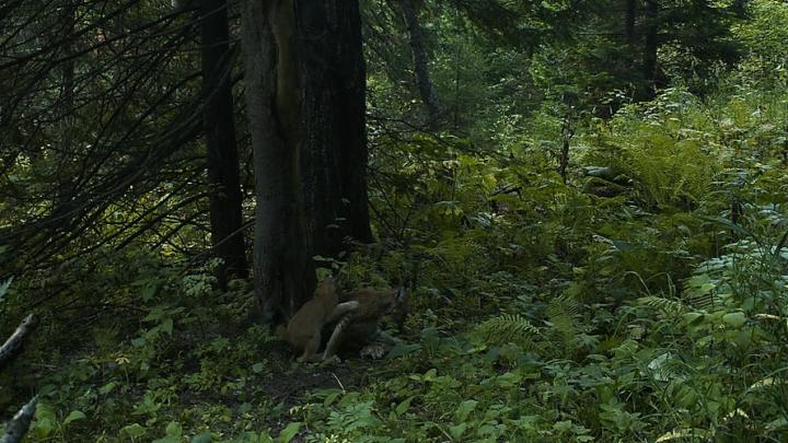 На «Столбах» заметили маму-рысь с игривым потомством