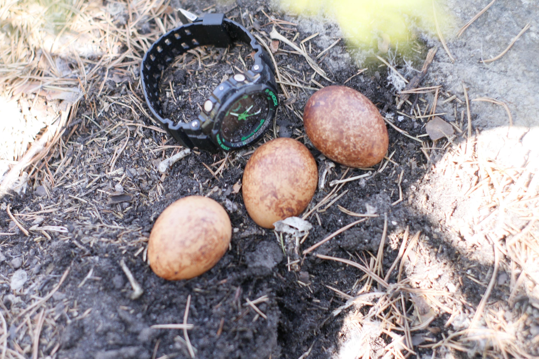 Необычная находка —соколиные яйца