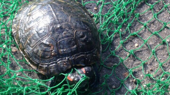 Ярославцы спасли выброшенную в брагинский пруд красноухую черепаху