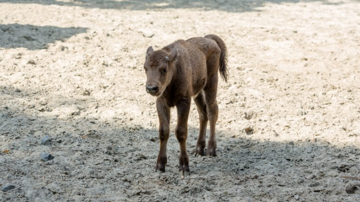 Пополнение: в Ростовском зоопарке родился зубренок