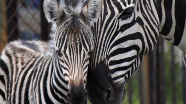 «Папа ржал и переживал»: в челябинском зоопарке впервые у пары зебр родился малыш