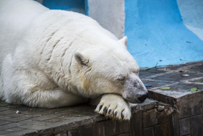 Полярные медведи устраивают себе сон-час в жаркий полдень