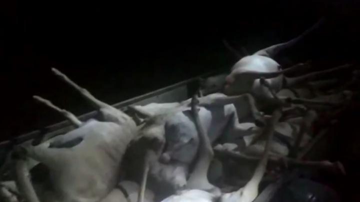 На сувениры: на полях в Волгоградской области нашли 22 погибших сайгака — видео