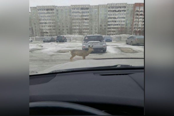 Блуждающее дикое животное на оживленных улицах засняли жители города