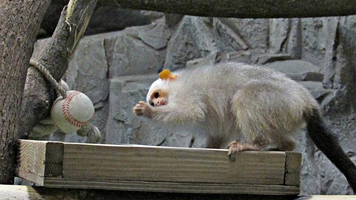 Золотая и серебряная: в зоопарк привезли новых обезьян благородных цветов